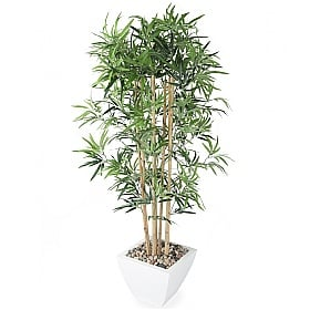 Golden Bamboo Tree - 5ft £0 -