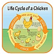 Life Cycle Of A Chicken Sign