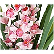 Artificial Pink Cymbidium Orchid Plant