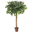 Ficus Benjamina Danielle Weeping Fig Tree - 5ft