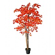 Red Japanese Maple Tree - 5ft 3