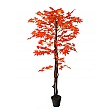 Red Japanese Maple Tree - 5ft
