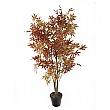 Russet Brown Japanese Maple Tree - 4ft 6