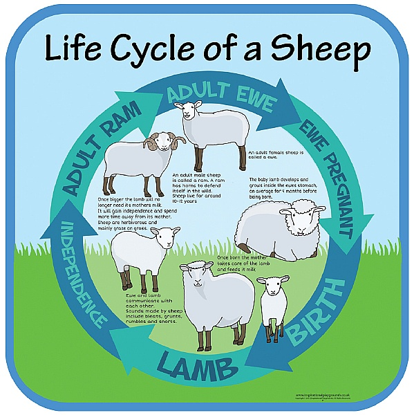 Life Cycle Of A Sheep Sign