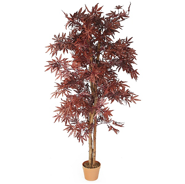 Chestnut Brown Japanese Maple Tree - 5ft 6